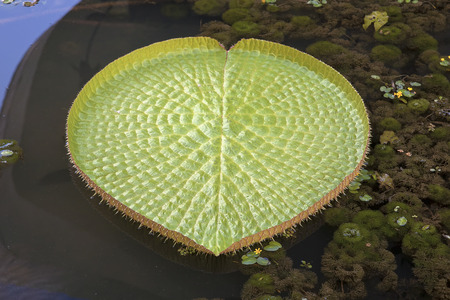 Giant Amazonian Water Lily Pads Floating in Lake Closeup photo