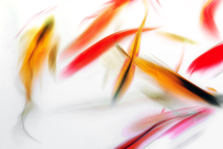 Koi Fish Swimming in Pond Colorful Swirl Abstract