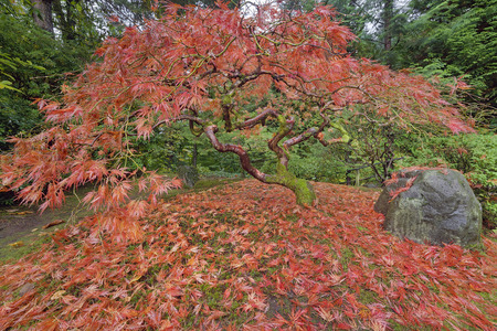 japanese fall foliage: Japanese Lace Leaf Maple Tree Fall Foliage Colors at the Portland Japanese Garden in Autumn Stock Photo