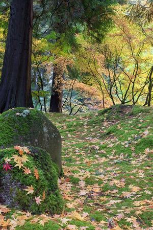 Japanese Maple Tree Leaves on Mossy Rocks and Ground in Fall Season at Portland Japanese Garden photo