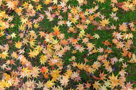 Japanese Maple Tree Leaves on Backyard Mossy Ground in Fall Season Background photo
