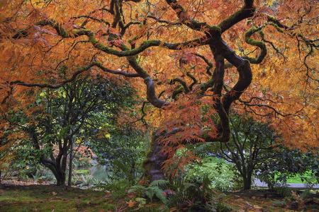 Onder het Oude Japanse esdoorn in de herfst op Portland Japanse tuin