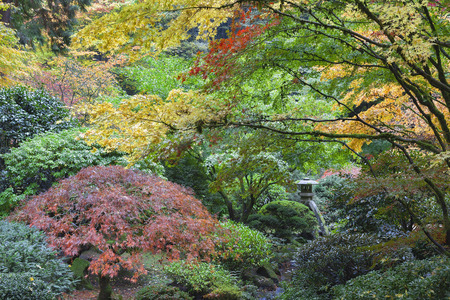 maple trees: Stone Lantern Among Japanese Maple Trees in Fall Season at Portland Japanese Garden