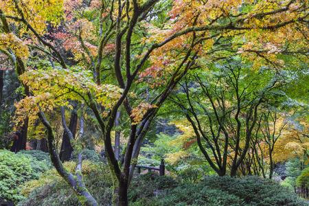 ponte giapponese: Acero giapponese alberi cadono colore Foliage dal Ponte di Luna a Portland giardino giapponese in autunno