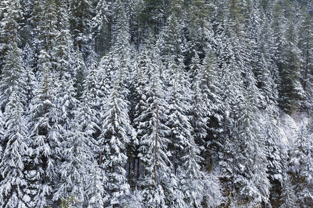 oregon  snow: Snow Covered Evergreen Fir Trees at the Columbia River Gorge in Oregon during Winter Season Stock Photo