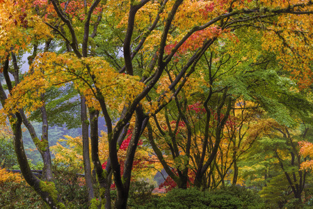 japanese maples: Japanese Maple Tree Canopy at Portland Japanese Garden in Autumn