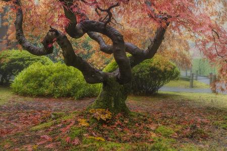 Oude Japanse Boom van de Esdoorn op Portland Japanse tuin in de herfst