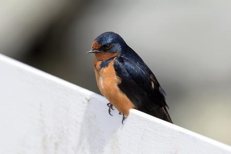 swallow: Swallow Bird Portrait Closeup Stock Photo
