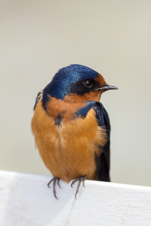 barn swallow: Barn Swallow Perched on a Fence Watching Closeup Stock Photo