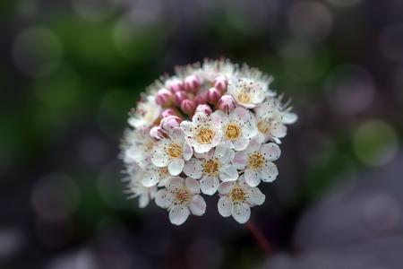 diablo: Diablo Ninebark Shrub Flowers blooming in Springtime Closeup Macro