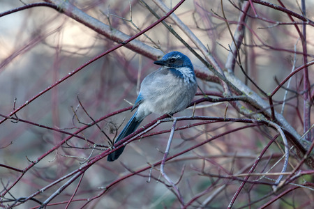 eastbank: Western Scrub Jay Perched on Tree Branch in Winter Stock Photo