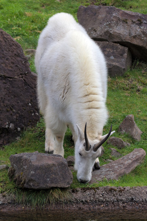 berggeit: ROcky Mountain Goat Grazing by the Stream
