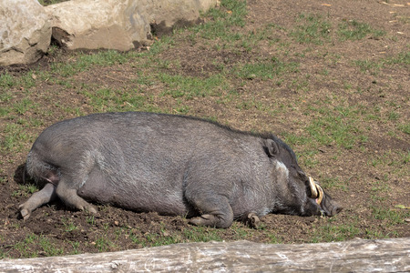 Visayan Warty Pig from the Island of Philippines Boar Sleeping