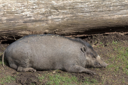 sow: Visayan Warty Pig from the Island of Philippines Sow Sleeping
