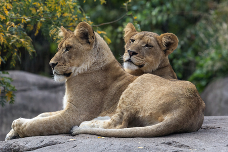 cubs: Pair of Lions Cubs Resting Stock Photo