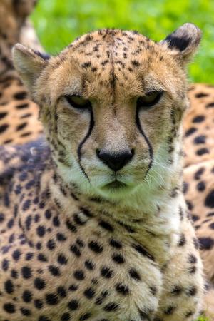 laying forward: Cheetah Laying Down Resting and Looking Forward Closeup Portrait