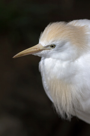 subspecies: Cattle Egret Wild Bird Closeup Portrait