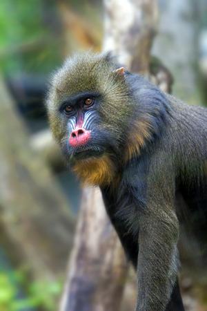 mandrill: Mandrill Monkey Male Portrait Stock Photo