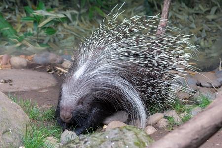 herbivore: African Crested Porcupine Full Body Portrait