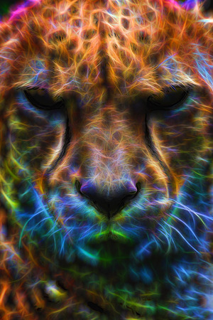 laying: Cheetah Laying Down Resting and Looking Forward Closeup Neon Effect Portrait Stock Photo
