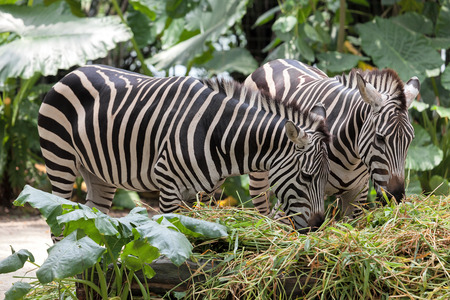 savannas: Zebra Pair Grazing on Grass Closeup Portrait