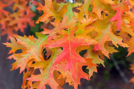 fagaceae: Oak Tree Foliage in Fall Colors Closeup Macro