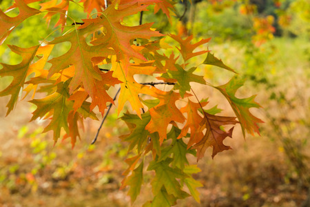 fagaceae: Oak Tree Foliage on Tree Branches with Morning Warm Light in Fall Colors Closeup Macro Stock Photo