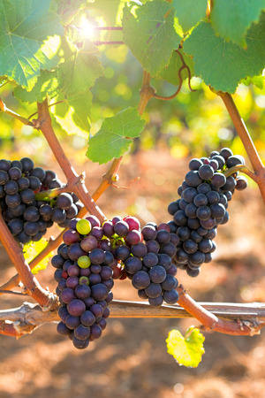 dundee: Red Wine Grapes Ripening on the Vine on a Sunny Day in an Oregon Vineyard
