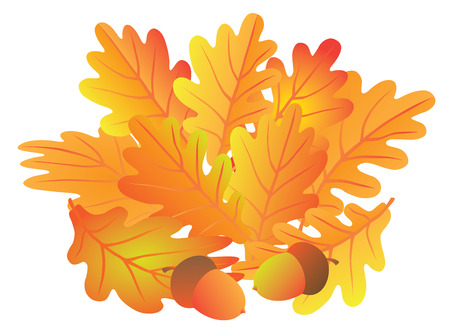 oak leaves: Oak Leaves and Acorns in Fall Colors Isolated on White Background Color Illustration Illustration