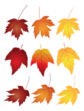 sugar maple: Maple Leaves in Changing Fall Colors Isolated on White Background Illustration