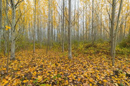 arbol alamo: Álamo Grove en Oregon durante el otoño