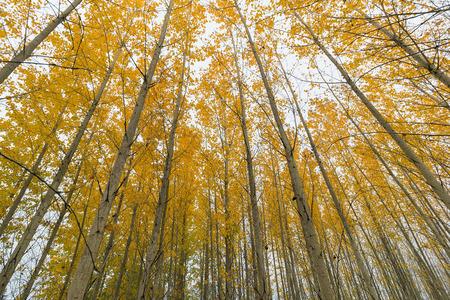 arbol alamo: �lamo Grove Canopy en Oregon durante el oto�o
