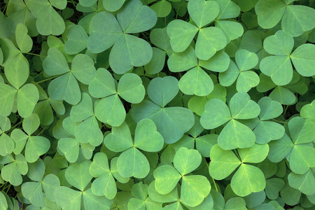 wood sorrel: Oregon Wood Sorrel in the forest of Columbia River Gorge Closeup Stock Photo