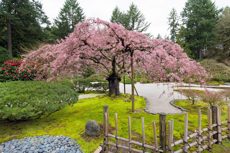 cherry tree: The Pink Cherry Blossom Tree in Bloom at the Japanese Garden in Spring Stock Photo