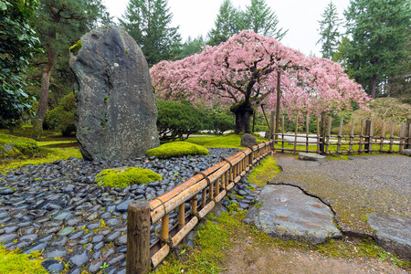 cherry tree: Cherry Blossom Tree in bloom by natural landscaping rock at Japanese Garden in Spring Season