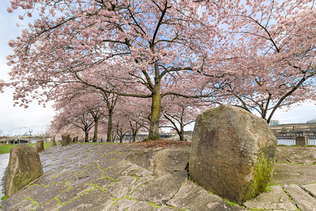 hardscape: Cherry Blossom Trees with Pink Flowers in full bloom with large rock boulders hardscape at waterfront park in Portland Oregon