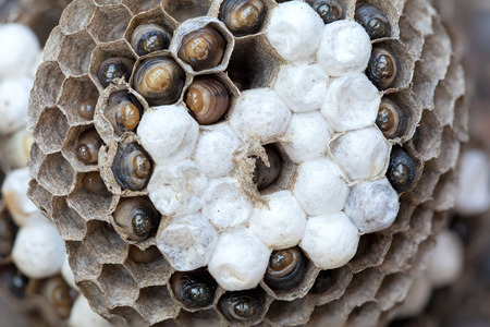 predatory insect: Wasp Nest with larvae  and eggs in individual cell of the hive closeup macro