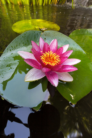 lilypad: Pink Water Lily flowers in bloom with lilypad in garden backyard pond closeup Stock Photo