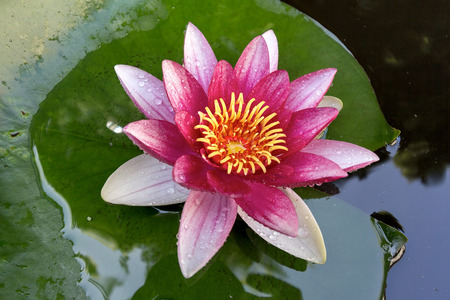 lilypad: Pink Water Lily flowers in bloom with lilypad in garden backyard pond macro