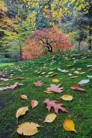 japanese fall foliage: Japanese maple tree on a green mossy slope with fall foliage in Autumn