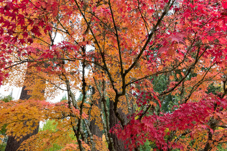 autumn color: Japanese Maple Trees in fall color during Autumn Season Stock Photo