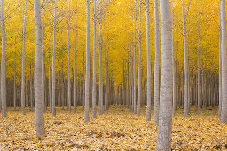 botanical farms: Poplar Tree Farm at Boardman Oregon in Fall Season