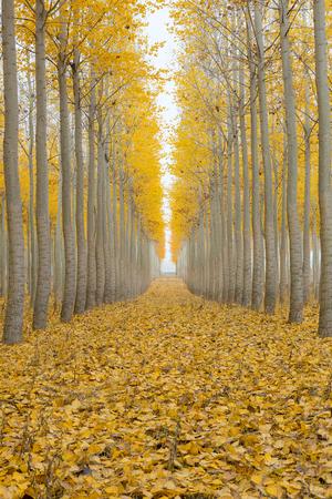 hilera: Granja del árbol de álamo en Boardman Oregon en una mañana de niebla en la temporada de otoño