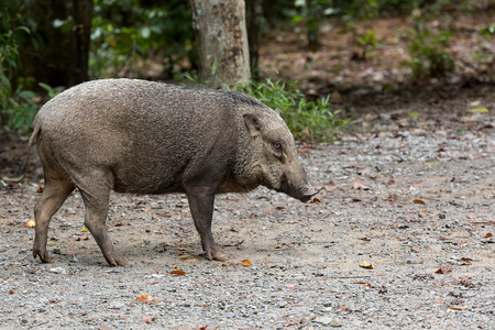 Wild Boar wandering loose around Chet Jawa Wetlands at Pulau Ubin island in Singapore