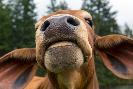 Brahman Cattle Nostril and Mouth Facial Closeup Macro Portrait