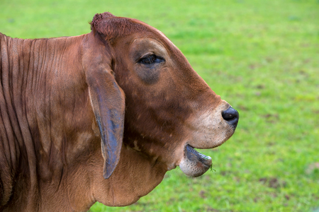 Brahman Cattle with smiling or laughing facial expression side profile portrait closeup Stock Photo