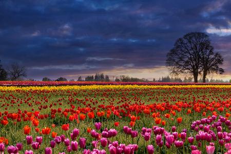 Zonsondergang over gebieden van kleurrijke tulpenbloemen in bloei tijdens Lentetijd Stockfoto