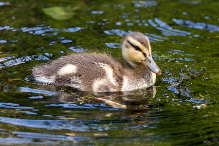 Mallard Duck duckling wading in the lake at Crystal Spring Rhosododendron Garden in Spring Stock Photo