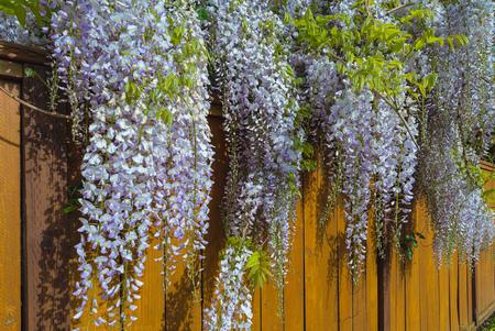 Wisteria flowers in full bloom over wood fence in backyard of house in residential neighborhood in Springtime