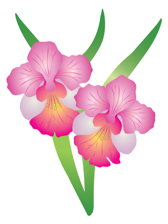 Singapore National Flower Vanda Miss Joaquim Orchid Color Illustration Ilustrace